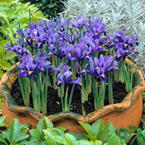 A superb miniature iris having velvety blue petals with yellow and white crest. Ideal for pot or border. Flowers February-March. Height 10-15cm. Bulb
