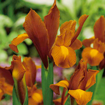 Iris Bulbs - Autumn Princess