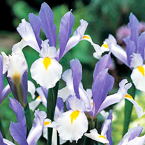 Lance-shaped leaves and violet-blue flowers with almost white falls, marked with yellow in summer. Flowers June-July. Height 45cm. Bulb size 8cm+. (Bu