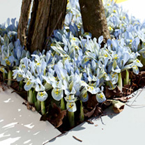 Iris reticulata Bulbs - Katharine Hodgkin