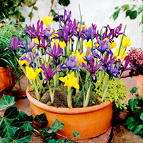 Iris reticulata Bulbs - Miniature Mix