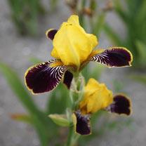 Iris Germanica Bulbs - Bumblebee Deelite