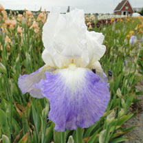 Iris Germanica Bulbs - Mission Ridge