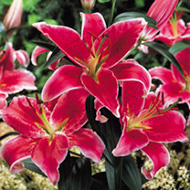 Click to view product details and reviews for Lily Bulbs Stargazer.