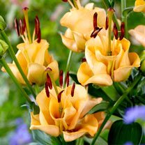 Lily Bulbs - Apricot Fudge