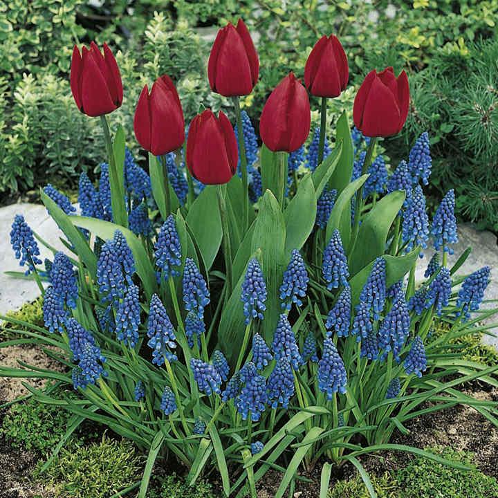 Plant-O-Tray Classic Preplanted Bulbs - Tulip/Muscari