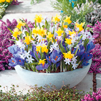 A specially selected mix of miniature bulbs for your favourite pots or baskets providing colour to patios and balconies. Mix contains 30 bulbs of the