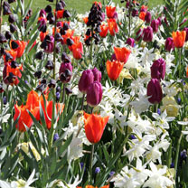 Fresh Spring Bulbs - Mix