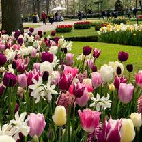 Tulip Bulbs - Delightfully Dutch Mix