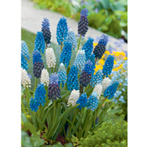Muscari Bulbs - Blue & White Mix