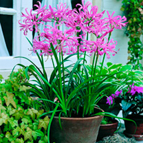 Grown in pots or as a thick row in a border, Nerine bowdenii is one of the best additions to an autumn garden. It produces heads of up to 10 vibrant,
