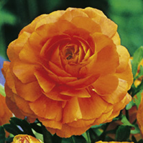 Ranunculus Bulbs - Orange