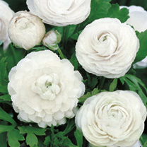 Ranunculus Bulbs - White