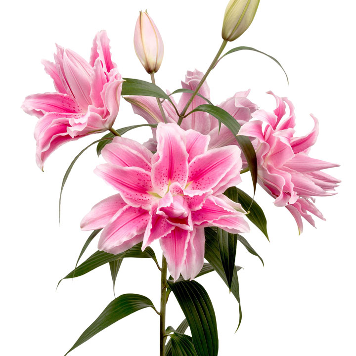 Roselily®  Bulbs - Isabella