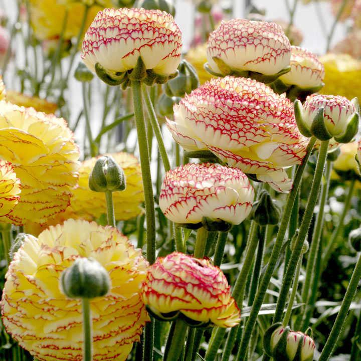 Ranunculus Bulbs - Striato Bianco