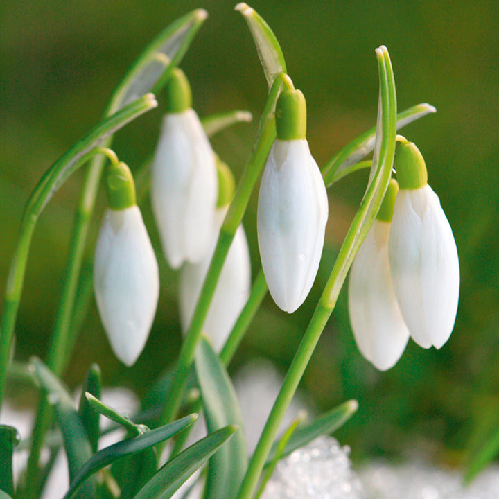 Snowdrop Bulbs - Common