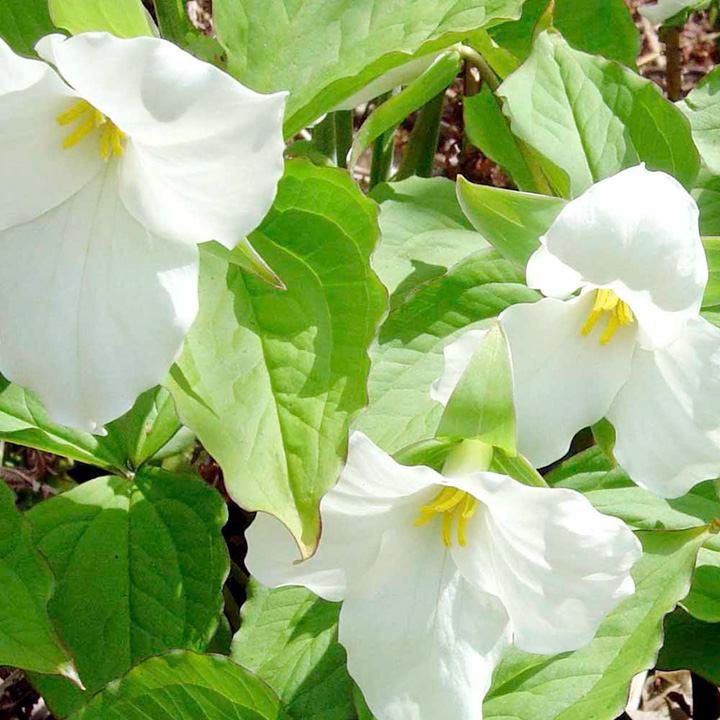 Trillium catesbyi (Bashful Wakerobin)