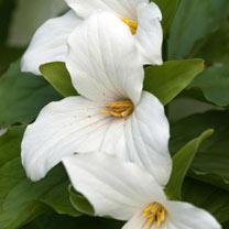 Trillium Plant - Grandiflorum