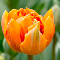 Tulip (Double) Bulbs - Orange Princess