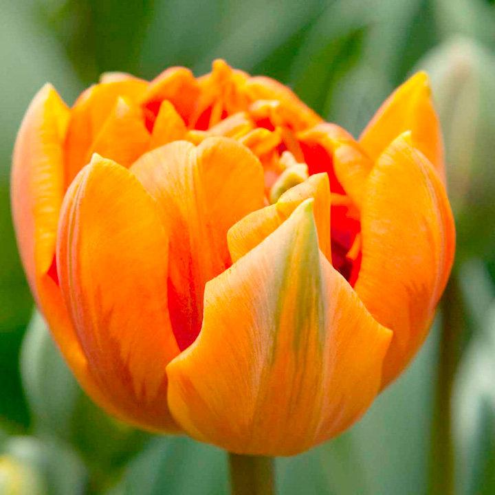Tulip (Double) Bulbs - Orange Princess