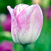 Tulip Bulbs - Purple Collection