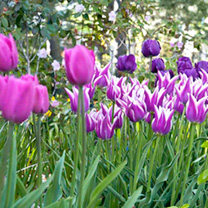 Tulip Bulbs - Purple Passion