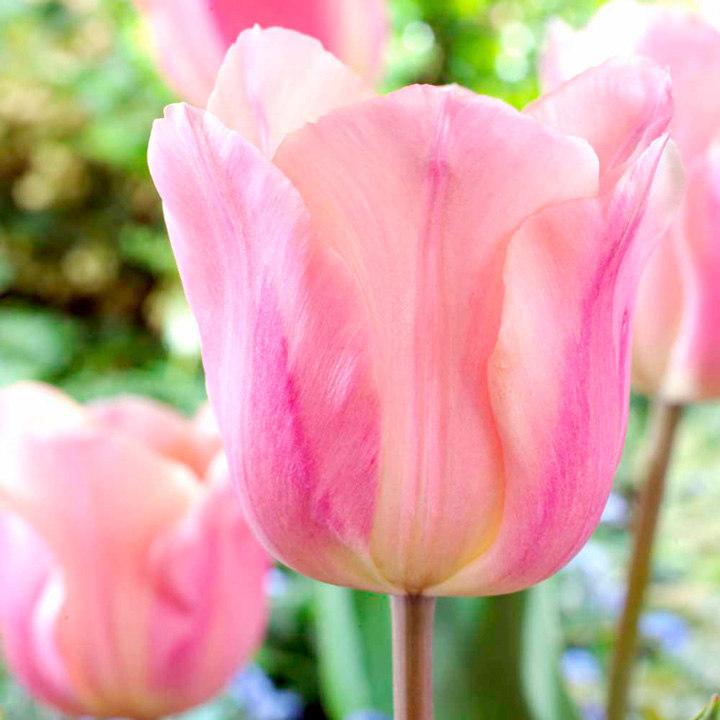 Tulip (Single) Bulbs - Apricot Beauty
