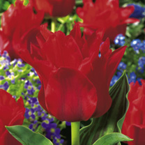 Tulip Bulbs - Red Riding Hood (Single)