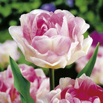 Delicate, soft pink, double, bowl-shaped flowers, flushed with both paler and darker shades of pink. From a distance you could easily mistake these tu