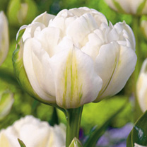 Tulip Bulbs - White Collection