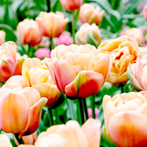 Tulip (Double) Bulbs - Belle Epoque
