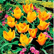 Tulip Botanical Bulbs - Bronze Charm