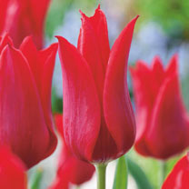 Tulip Bulbs - Red Collection