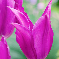 Tulip (Lily) Bulbs - Purple Dream