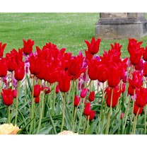 Tulip (Lily Mid) Bulbs - Pieter De Leur