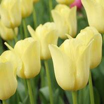 Tulip Bulbs - Yellow Collection