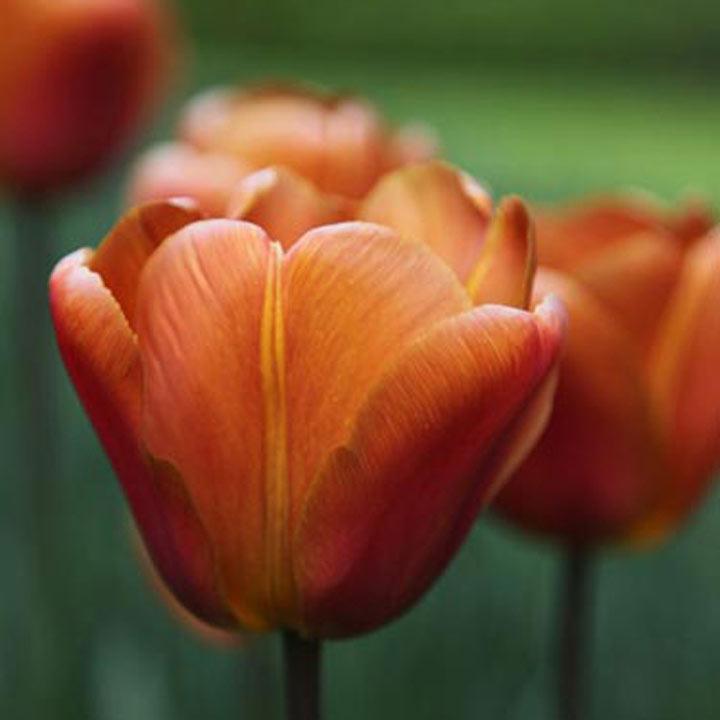 Tulip (Triumph) Bulbs - Brown Sugar