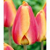 Tulip Bulbs - Darwin Hybrid Apeldoorn's Elite