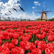 Click to view product details and reviews for Tulip Bulbs Darwin Hybrid Red Impression.