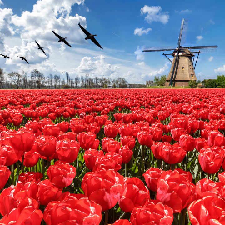 Tulip Bulbs - Darwin Hybrid Red Impression