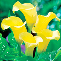 Zantedeschia Bulbs - Black Magic