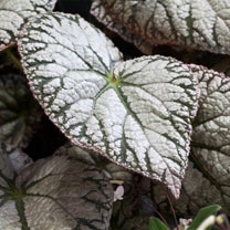 Begonia Plant - Silver Lace