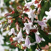 Abelia grandiflora Plant