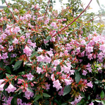 Image of Abelia Plant - Edward Goucher