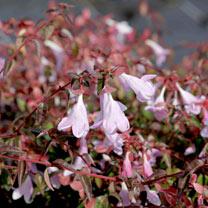 Abelia Plant - Pinky Bells Noble