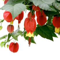 Abutilon Plant - Big Bell