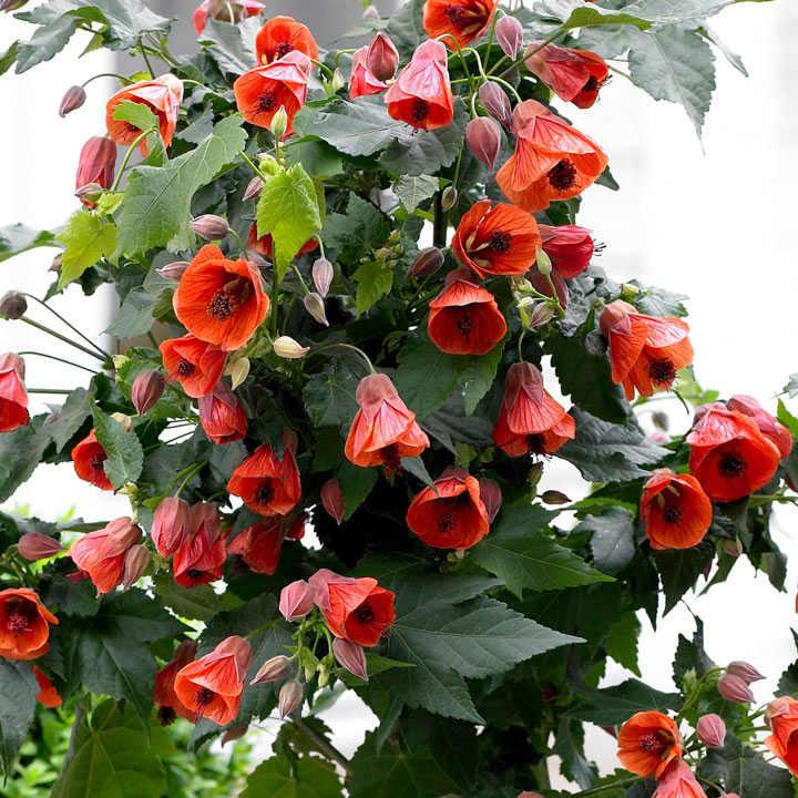 Abutilon Patio Red View All Flower Plants Flower