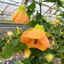 Abutilon Patio Peach