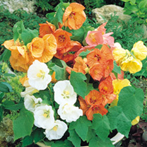Click to view product details and reviews for Abutilon Seeds Bellvue Mix.