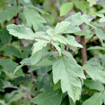 Click to view product details and reviews for Acer Griseum Plant.